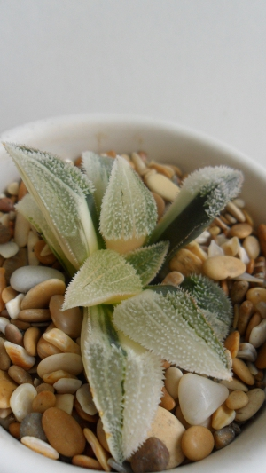 Haworthia pygmaea cv Pink Beauty variegated