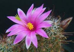 Mammillaria occidentalis